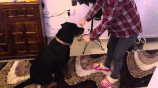 Rottweiler Female - Training At Home