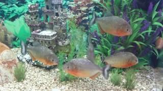 Пираньи краснобрюхие в аквариуме 240 литров!