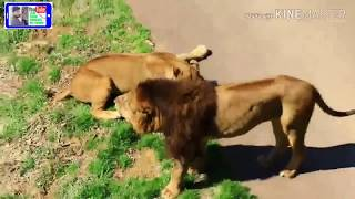 loin fight with 2 loin who's king 2019