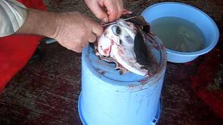 irfan apa kelle yüzmenin incelikleri (scalping sheeps head)