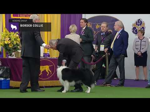 Border Collies | Breed Judging 2019