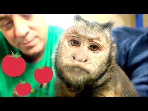 monkey-teeny-tiny-tomatoes!-(snack-time)
