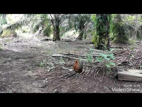 Ayam Hutan Pikat Betina 94