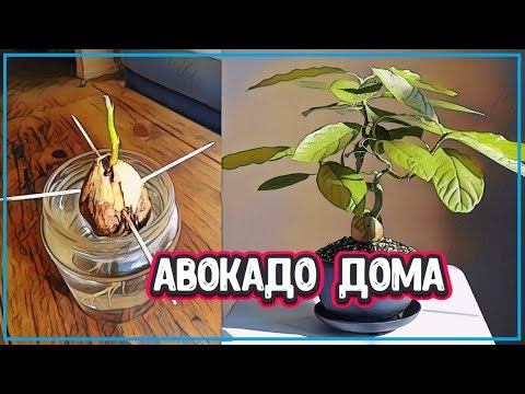 Вопрос: Как ухаживать за авокадо Как часто нужно поливать авокадо?