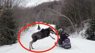 When Moose Attack
