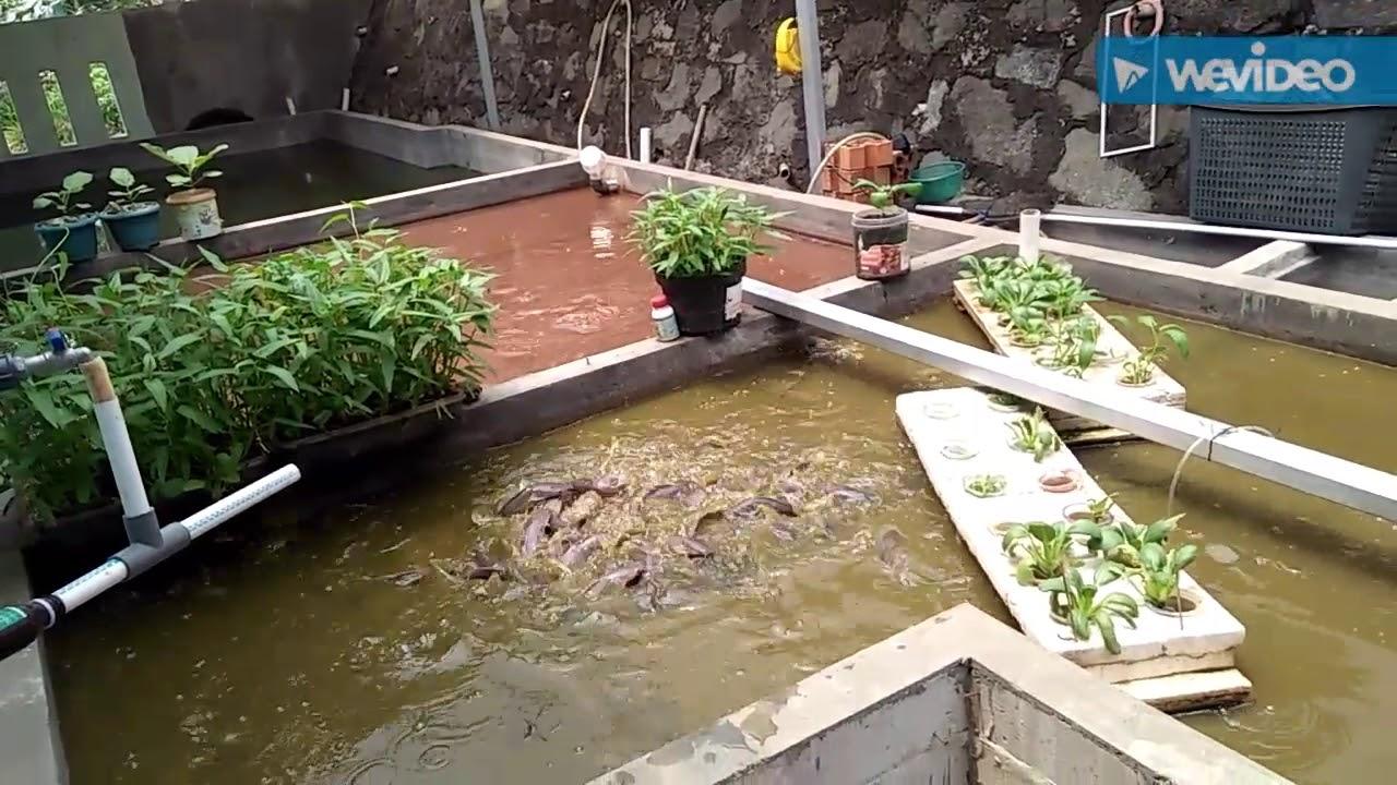 Belajar ternak lele di kolam semen - YouTube