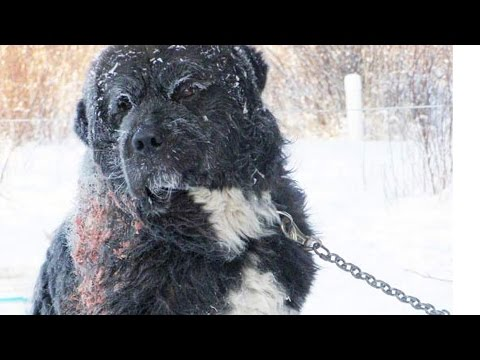 Chained In Freezing Cold - A Dog's Rescue and Happy Ending