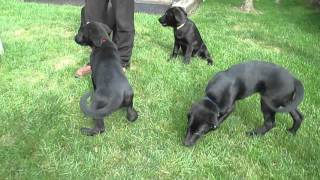 Labrador Retriver Mix Puppies For Sale In Pa