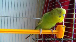 Волнистый попугай чирикает Звуки попугая. Budgerigar tweets. Parrot sounds