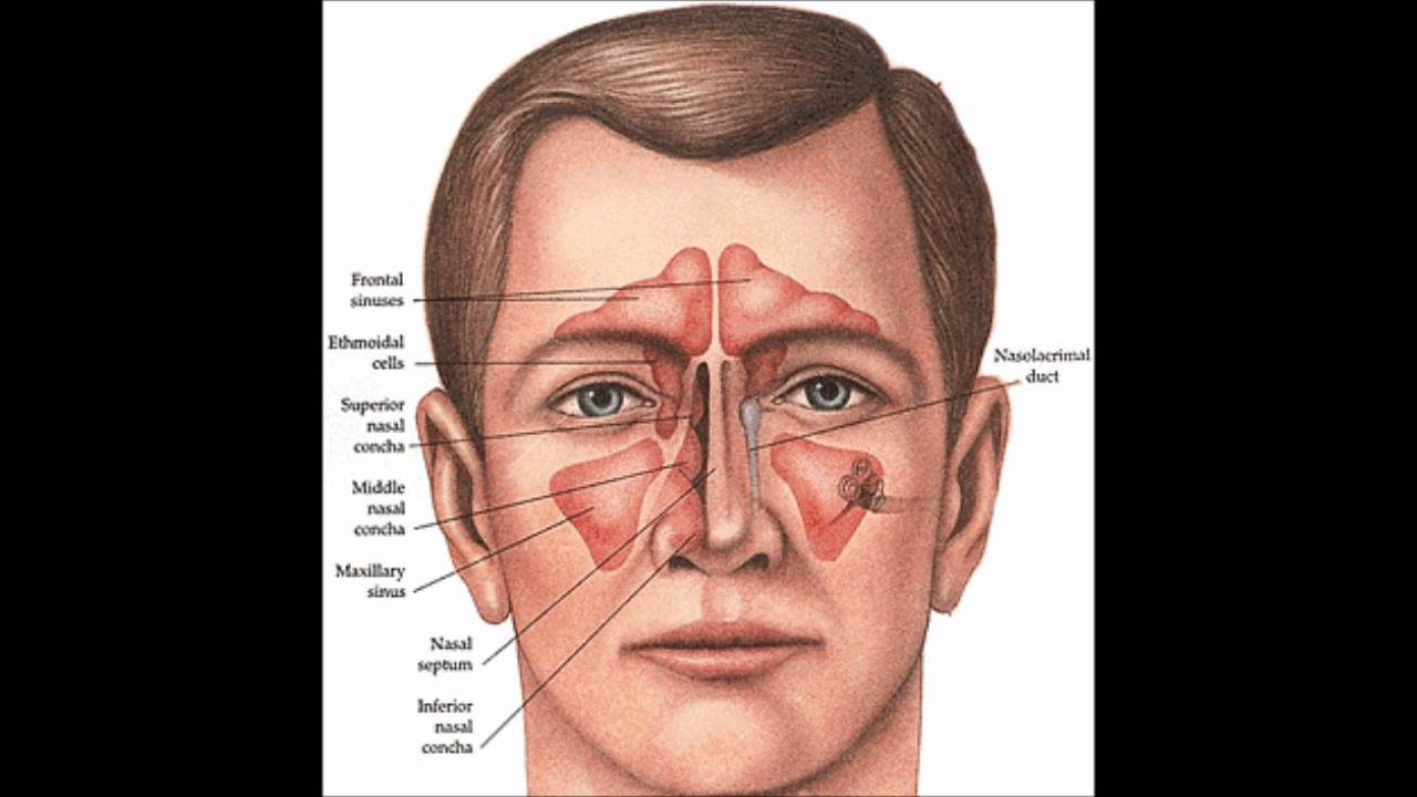 Nose Anatomy And How It Works