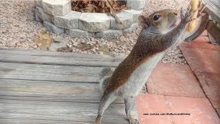 Squirrel Waits Then Runs to Greet Man Every Morning thumbnail