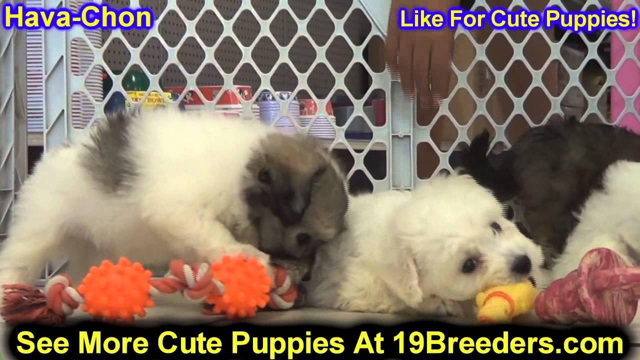 Havachon, Puppies, For, Sale, In, Kearney, Nebraska, NE ... Havachon