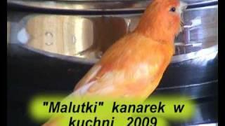 kanarek śpiewa do garnka