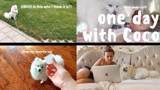 One Day in Life of a Japanese Spitz