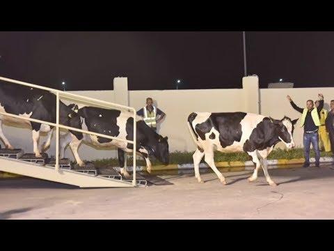Deutsche Kühe für Katar: Mit Hilfe dieser Schwarzbunten soll am Golf Milch und Honig fließen
