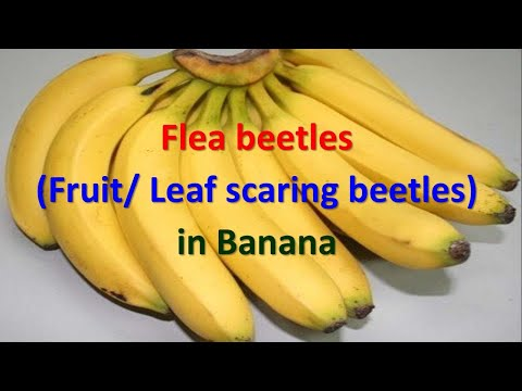 How to manage Flea beetles in Banana crop - Nodostoma sabcostatum