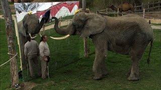 So schlau sind Elefanten: Mala erkennt sich selbst