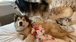 ARE ALASKAN MALAMUTES GOOD WITH CHILDREN? THE STORY OF OUR BABY AND MALAMUTE 3 MONTHS BOND