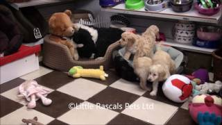 Little Rascals Uk Breeders New Litter Of Cockapoo Puppies