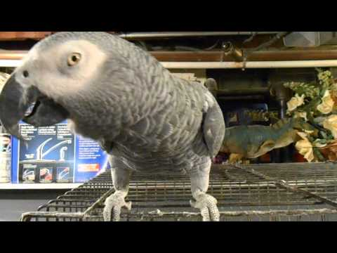 Romeo The Talking African Grey Parrot! (Part 1: Introducing the Pet Congo)