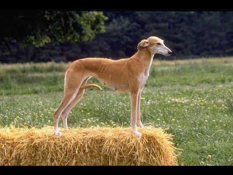 Левретка Порода собак