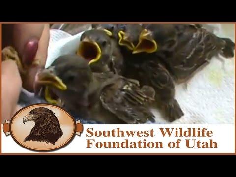 feeding baby sparrows