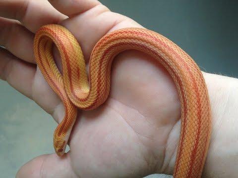 She Bit Me!!! - Snake Update #2 (Corn snakes)