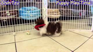 Shih Tzu, Puppies, For, Sale, In, Green Bay, Wisconsin, Wi, Eau Claire, Waukesha, Appleton, Racine,