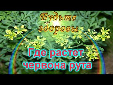 Вопрос: Что за растение Дым прерий?