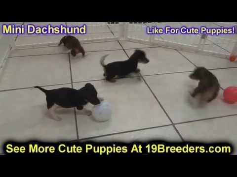 Miniature Dachshund Puppies Dogs For Sale In Jacksonville Florida Fl 19breeders Orlando