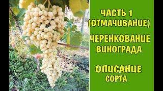 Виноград Посадка черенков (чубуков) Виноград описание Grapes Landing cuttings