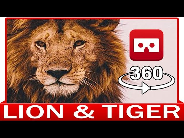 360° VR VIDEO - LION & TIGER - DISCOVERY ANIMAL & NATURE - VIRTUAL REALITY 3D