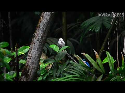 Rare Albino Kingfisher In Singapore