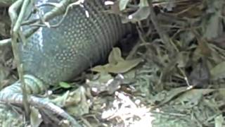 Texas Armadillo In His Habitat