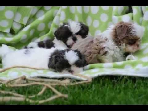 Miniature Shih Tzu Puppies For Sale Youtube