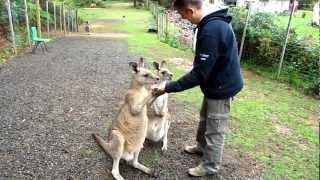 karmienie kangurów - Tasmania, Australia