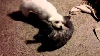 A Dogs Life 4-2-15 Maltese Vs Maltipoo Grudge Match
