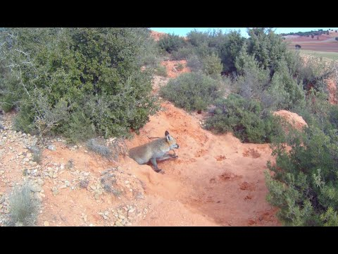 Descaste de zorros en tierras conquenses