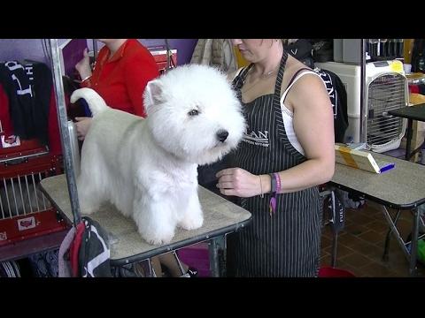 West Highland Terrier Westminster Dog Show