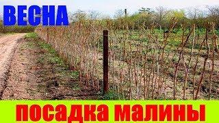 Как посадить малину весной || посадка малины весной видео || малина посадить || малина саженец