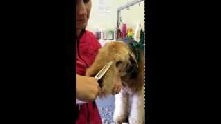 Airedale Terrier Grooming Pet head  Dogs Delight