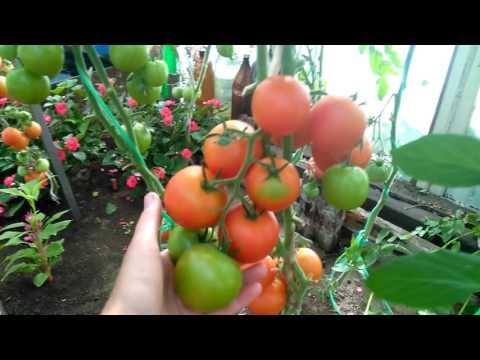 Мои помидоры в