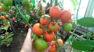 Мои помидоры в теплице. Север Бурятии.