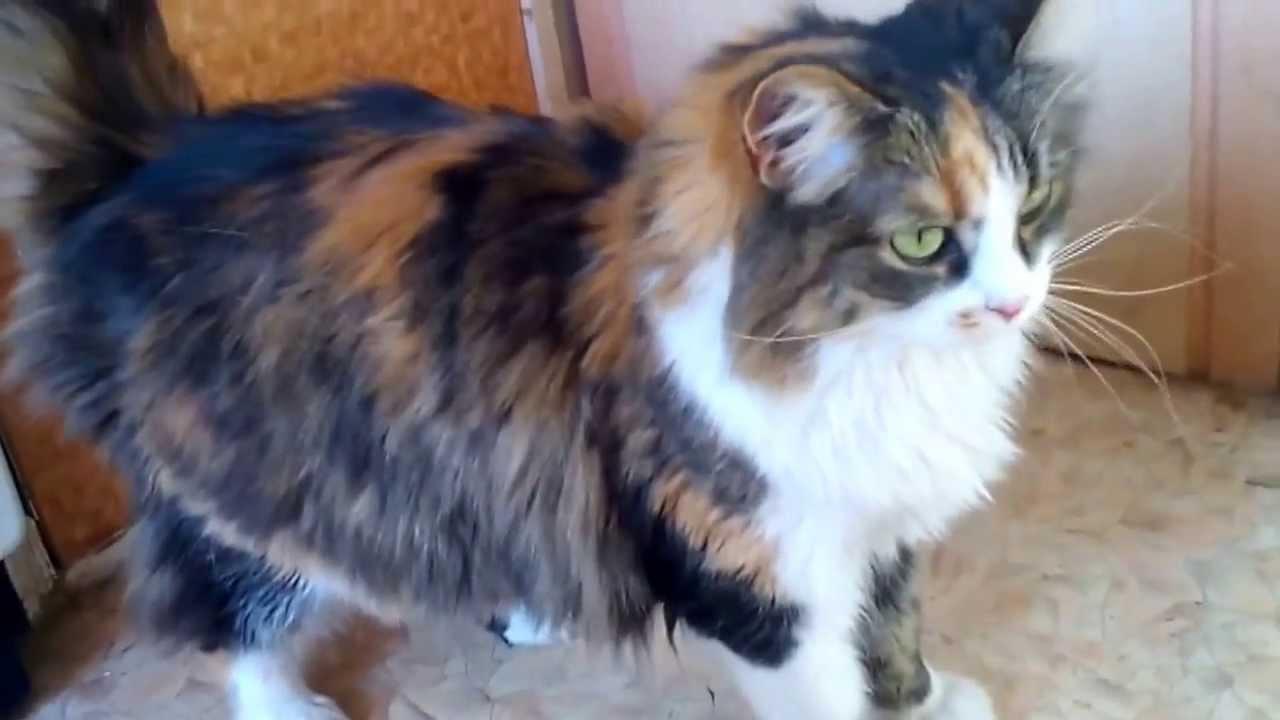 фото трехцветная кошка