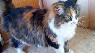 Трехцветная кошка ищет дом!