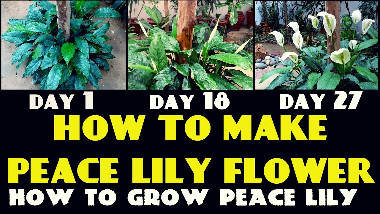 How to grow peace lily youtube how to grow peace lily izmirmasajfo