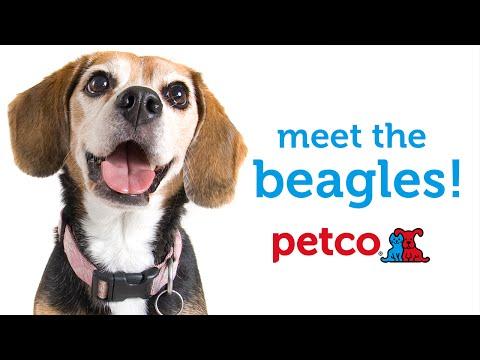 Beagle Dog Breed (Petco)
