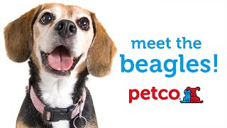 Beagle Dog Breed (petco)