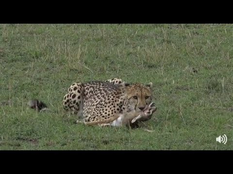 Safari Live Face Book Live : Cheetah take's down and consumes a baby Thompson Gazelle Oct 21, 2017