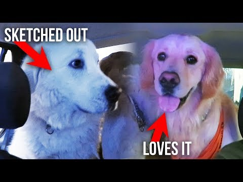 DOGS REACT TO DRIVE THRU CAR WASH (SCS #129)